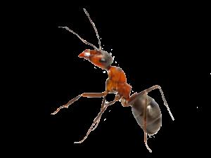 ant-300x225