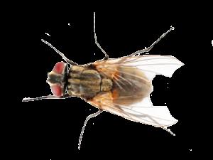 housefly-300x225