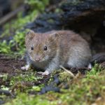 Pesky Voles – Why We Get Them and How To Control Them - One Man and a Lady bug - Pest Control Calgary