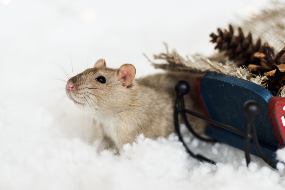 Winter Rodent Issues - One Man and a Lady bug - Pest Control Calgary