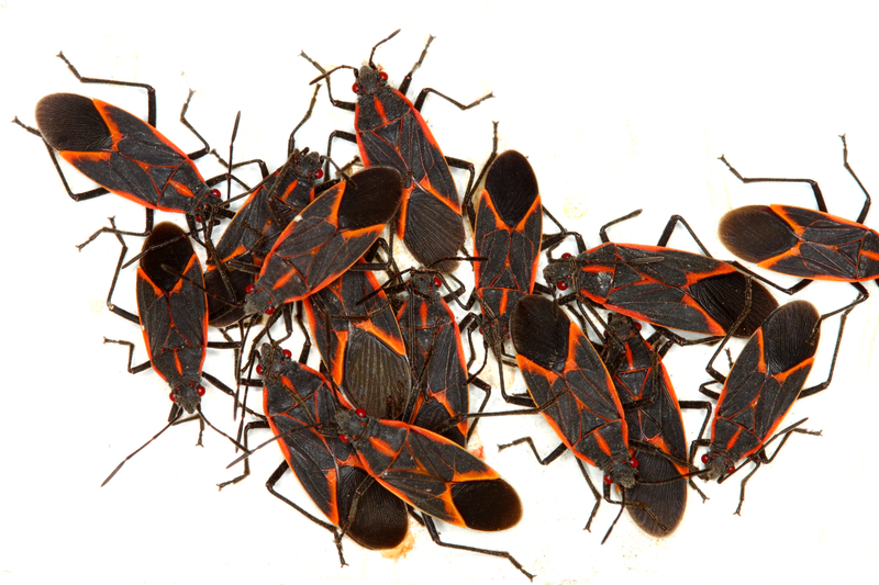 The Maple Bugs Are Moving In! - One Man and a Lady Bug - Pest Control Calgary