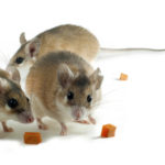 Should You Try DIY Rodent Removal? - One Man and a Lady bug - Pest Control Calgary