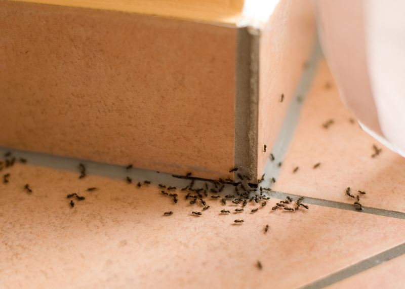 All About Ants - One Man and a Lady Bug - Pest Control Calgary - Featured Image