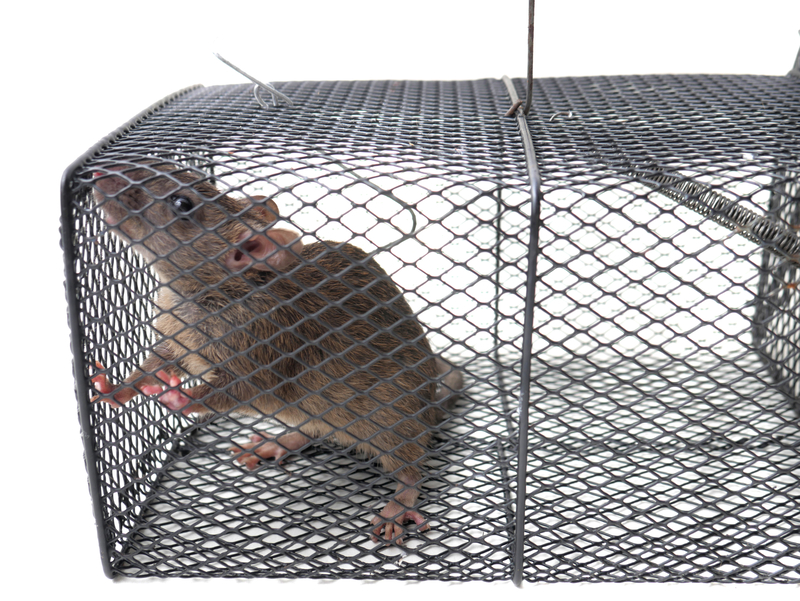 Why Choose Environmentally Responsible Rodent Control? - One Man and a Lady Bug - Pest Control Company - Featured Image
