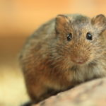 The Elusive Vole - One Man and a Lady Bug - Pest Control Company - Featured Image